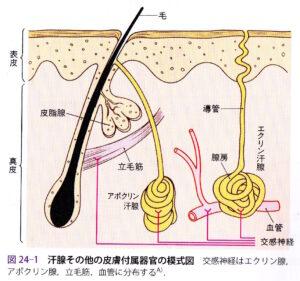 汗腺の模式図